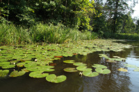 Šovasar krāšņas ūdensrozes mūsu Dzirnavu dīķī